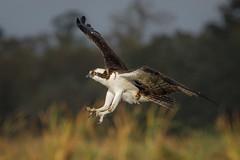 Feet First (gseloff) Tags: osprey bird flight bif landing wildlife nature mudlake armandbayou pasadena texas kayakphotography gseloff