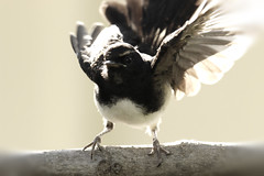 Willie Wagtail baby  (Rhipidura leucophrys) (Griffins Photos) Tags: bird willie wag tail black white australia