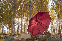 Colors (Explore 28/nov/2017) (José Luis Pérez Navarro) Tags: paraguas umbrella bosque trees arboles otoño autumn hojas leaves season joseluisperez blacky2007 forest red yellow golden landscape paisaje nikon photographerfreelancer naturaleza nature natura chopoa chopera d90 airelibre sunset atardecer