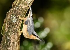 Nuthatch (George Findlay) Tags: nuthatch nuttie bird ayrshire nikon sigma