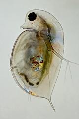 Daphnia (mr.sansibar) Tags: heliconfocus olympusbh2 crustacea daphnia zooplankton plankton focusstacking photomicrography microscopy polarizedlight waterflea