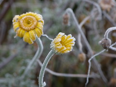 Baby, it is cold outside.... (joeke pieters) Tags: 1370410 panasonicdmcfz150 bloem bloemen flower flowers vorst rijp frosty hoarfrost winter december koud cold