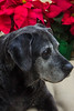 TiaMaria 2017 (Ellsasha) Tags: dog canine pet blacklab labrador senior aging