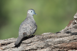 Peaceful Dove (Geopelia striata)