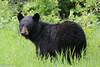 Black Bear (mobull_98) Tags: blackbear