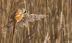 Bearded Tit (reedling ) (cogs2011) Tags: canon sigma bird tit reedling wildlife nature