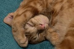 Do not Disturb (Evoljo) Tags: cat dougal pussy fur sleeping ginger pet animal nikon d500