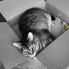 """A faithful friend is a strong defense; / And [they] that hath found [them] hath found a treasure."" ―Louisa May Alcott 🐈 (anokarina) Tags: appleiphone7 kitty kitten animal colorsplash box toy highlands louisville kentucky ky cardboard"