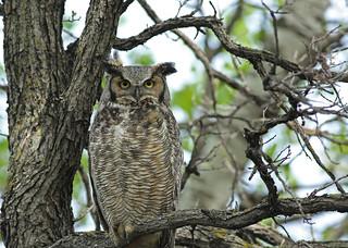 Great Horned Owl...#3