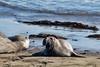 20170724-172548-Edit.jpg (deepskywim) Tags: landschappen zeeolifanten zoogdieren dieren zee sansimeon california unitedstates us
