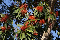 Queensland tree waratah (Tatters ✾) Tags: australia floweringtree qrfp qrft redarfflowers redflowers waratah tree alloxylonflammeum proteaceae alloxylon queenslandtreewaratah arfp tropicalarf arfflowers