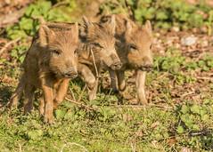 wild boar piglet (daves wildlife photos) Tags: wild boar juvenile forest dean gloucestershire mammal nature wildlife camnon 7d2 sigma 150600mm f563 dg os hsm sport