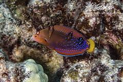 Juvenile fish portraits (bodiver) Tags: hawai macro fins fish