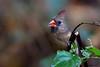 Northern Cardinal - IMG_7685 (arvind agrawal) Tags: northerncardinal cardinal bird wildlife conowingo md