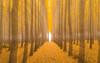 Close Encounters (carolina_sky) Tags: boardmantreefarm oregon autumn poplartrees yellow orange fall leaves color zoom motion longexposure alienabduction closeencounter brightlight pentaxk1 pentax2470mm skymatthewsphotography