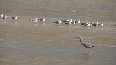 DSC04906 (Matthew283) Tags: bolvar wildlife 11182017 reddish egret
