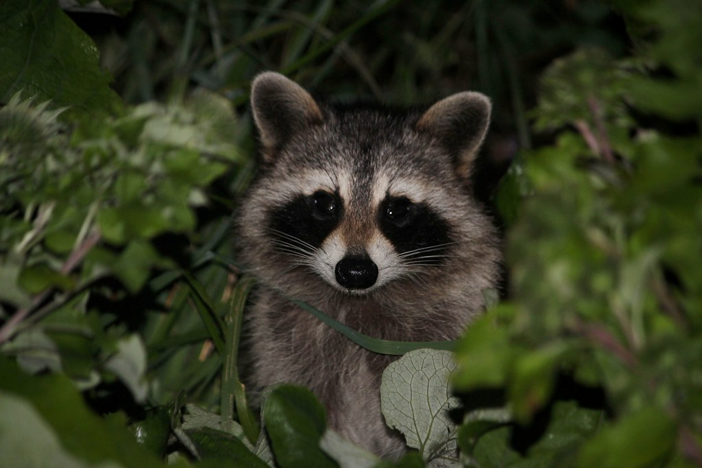 The World's newest photos of bandit and raccoon - Flickr