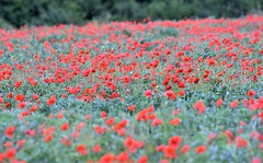 We will remember them. (pstone646) Tags: poppies flowers field rememberance nature red green flora