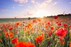 (Claire*Marsh) Tags: sunset poppyfield poppies poppy red blandford dorset wildflowers field