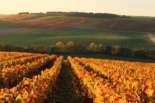 Vignes à Voigny (10200)