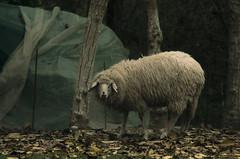 Friendly sheep (Gianluigge) Tags: pentax pentaxm pentaxart k5 vivitar series1 210mm sheep nature animals ngc
