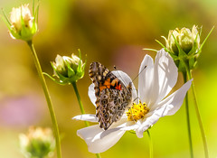 """Heavenly Beauty"" Painted Lady (Cathy Lorraine) Tags: butterfly insect macro flower plant nature outdoors park garden sedona arizona paintedlady sunshine wind colorful bokeh autumn fall light dof ngc npc"