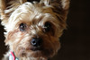 Nemo 11-19-17 (MelenaMe) Tags: nemo yorkie yorkiepoo pet dog animal
