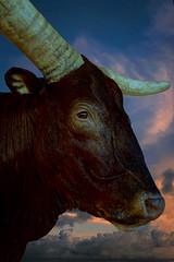 Watusi plus vrai que nature (thierrybalint) Tags: watusi nikoniste palais longchamp museum histoire naturelle