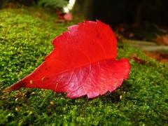 One single leaf (libra1054) Tags: smileonsaturday onesingleleaf blätter feuilles hojas leaves foglie folhas rouge rojo rosso vermelho red rot nature natura closeup outdoor