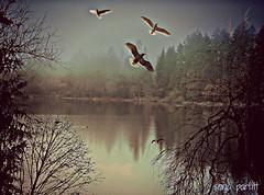 misty morning on the Lagoon (Sonja Parfitt) Tags: seagulls layered