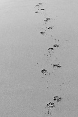 Tracks (brentflynn76) Tags: black white monochrome minimal minimalist tracks path pawprints beach sand negativespace