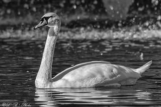 Mute Swan (Black & White)