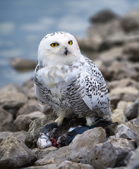 Snowy Owl with prey (paulh192) Tags: snowyowl owl raptor predator duck prey water hunting blood muskegon michigan nikon sigma