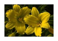 Yellow Twins (Audrey A Jackson) Tags: canon60d lilies yellow petals perfume beauty garden rhs rosemoor devon