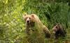 Welcome To The Jungle (rishaisomphotography) Tags: kodiakbrownbear grizzly sow momma cub coy baby green nature naturephotographer wildlife wildlfiephotography kodiak alaska adventure getoutside
