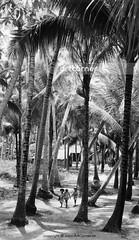 Way to school - Đi học - Nha Trang - 1962 (Nguyen Ba Khiem) Tags: 1960s 1962 hìnhảnhxưa việtnam việtnamxưa nhatrang nhatrangxưa nguyễnbámậu phongcảnh quê trẻem họcsinh dừa
