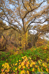 Autumn Jewels (michael ryan photography) Tags: oaktree oak wildgrapeleaves fallcolor autumn green gold leaves morning sunrise calaveras calaverascounty california northerncalifornia michaelryanphotography