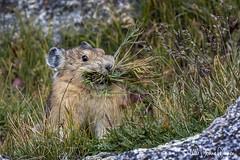 Happy Thanksgiving! (Tundra Winds Images by Donna) Tags: colorado coloradowildlife lagomorph pika ochotonaprinceps highaltitude alpinetundra harvest climatechangechallenged