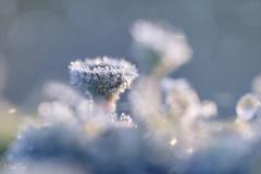 Bekkertjesmos, ijskristallen (nsiepelbakker) Tags: mos outdoor cold ice dwingelderveld icecystals nature ngc
