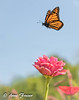 A beautiful Summer day (Anne Marie Fraser) Tags: flower macro summer butterfly monarchbutterfly flight flying wings garden beautiful peaceful insect nature monarch