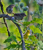 Two Sparrows and a Warbler (ctberney) Tags: songsparrows yellowwarbler sharing together birds yellow green nature