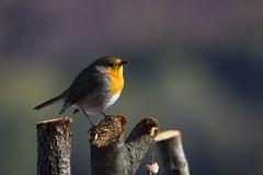 Il n'est pas d'oiseau aussi matinal que lui le rougegorge (Doriane Boilly Photographie Nature) Tags: rouge gorge oiseau matin froid jardin campagne