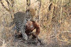 2015 10 13_Leopard-6 (Jonnersace) Tags: determination power ownership intent leopard pantherapardus luiperd hunter predator prey impala food kill bush spots survival africa wildwingssafaris bigcat paws mouth eyes catseyes