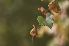 heart-shaped 💛 (Monica Muzzioli) Tags: 💛 heart heartshaped leave leaves autumn green dry soft nature emotions fragile romantic sundaylights blur