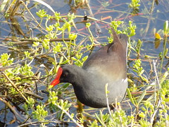 South Padre Island Birding And Nature Center, Texas, Common Moorhen (photolibrarian) Tags: southpadreislandbirdingandnaturecenter texas commonmoorhen