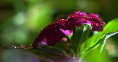 _MG_2880.CR2 (jalexartis) Tags: vinca bloom blooms flower flowers night nightphotography nightshots lighting camranger rain raincover diy
