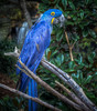 Hyacinth Macaw (donnieking1811) Tags: macaw hyacinthmacaw parrot bird fowl tennessee nashville grassmerezoo zoo outdoors trees hdr canon 60d lightroom photomatixpro