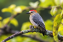 Red-crowned Woodpecker (Melanerpes rubricapillus) (Frank Shufelt) Tags: redcrownedwoodpecker picidae woodpeckers melanerpesrubricapillus aves birds nature wildlife forests woodlands mountains circasia quindío colombia southamerica november2017 2966