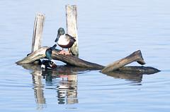 You talkin' to me? (jacme31) Tags: autoupload leteich auseths bird hiver oiseaux winter canard souchet
