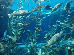 Pacific kelp forest (4) #toronto #ripleysaquarium #aquarium #fish #kelp #pacifickelp #latergram (randyfmcdonald) Tags: fish ripleysaquarium kelp latergram pacifickelp aquarium toronto
